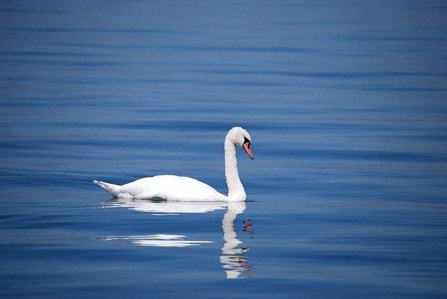 冬の風物詩「白鳥」を見に行こう
